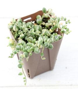 多肉植物 グリーン ネックレス