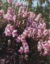 【当店農場生産】金魚草ブロンズドラゴン(苗) 9センチポット苗 ピンク色のかわいい花が咲きます☆