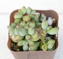 多肉植物 コチレドンペンデンス