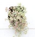 【当店農場生産】セダム リトルミッシー 7.5センチポット苗 グランドカバーに最適!