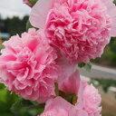 【耐寒性】【宿根草】八重咲フヨウ アルセア チャターズピンク...