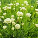 【耐寒性】【常緑低木】【ハーブ】 サントリナ レモンライム 【カラーリーフ】【コンテナガーデン】