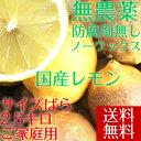 【送料無料】【愛媛県大三島産】無農薬レモン【サイズバラ2.5キロ】 国産レモン 訳あ