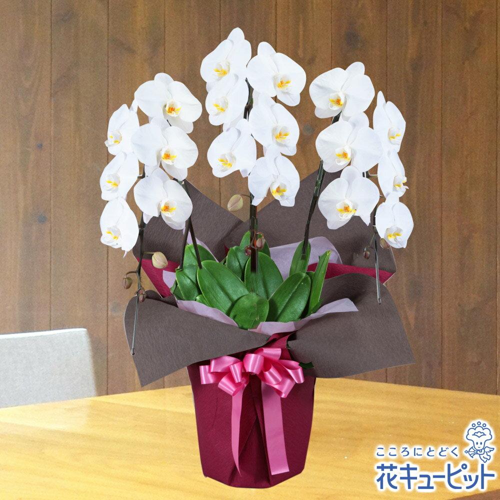 花キューピット【お祝い】yc00-511513胡蝶蘭 3本立(開花輪白18以上)ピンク系ラッピング 安心のカスタマーサポート!お花屋さんがお届けします!