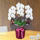 花キューピット【お祝い】yc00-511513胡蝶蘭 3本立(開花輪白18以上)ピンク系ラッピング