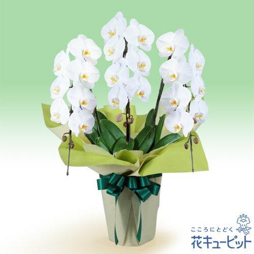 花キューピット【花鉢(お供え胡蝶蘭)】hd02-511519お供え胡蝶蘭 3本立(開花輪白21以上)