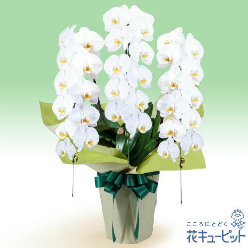 花キューピット【花鉢(お供え胡蝶蘭)】hd02-511539お供え胡蝶蘭 3本立(開花輪白33以上) 仏前に長く飾ることができる、日持ちの良い胡蝶蘭です。