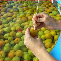沖縄産紅芋梅酒500ml×3本セット 12度 ...の紹介画像2