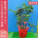 実付き ブルーベリー 鉢植え 母の日 プレゼント トレリス仕立て 接ぎ木 7号鉢 送料無料 鉢花 母
