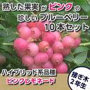 ピンクレモネード ブルーベリー接ぎ木苗 10本セット ハイブリッド品種 ブルーベリー苗木 ブルーベリー 苗木 接ぎ木 接木