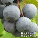 ブライトウェル ブルーベリー 挿し木 苗木 2年生 10本セット ラビットアイ系品種 果樹苗