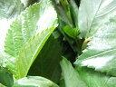 8月より9月まで発送!数量限定!健康食材!朝採りしたものを発送!寒暖差の中で育った!長野産 モロヘイヤ 約300g