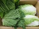 8月より12月まで発送予定!朝採り新鮮!一味違います!寒暖差の中で育った!本場 長野産 白菜 4個