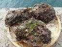 送料無料!!☆天然☆岩牡蠣(かき) 3〜4個入(1.5k前後)日間賀島産