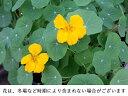 ナスタチウム 15g フレッシュハーブ 食用 和歌山県産スープやサラダ、肉料理に付け合わせなどに彩り屋_
