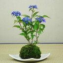 山アジサイ(紫陽花)藍姫(あいひめ)苔玉【送料無料】【6月頃開花】