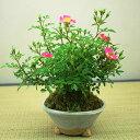 雅バラミニ盆栽【5月下旬から6月上旬頃開花】