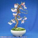 十月桜 盆栽(本格盆栽仕立て)【秋と春に開花する品種】【楽ギフ_包装】
