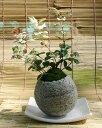 初雪かずらミニ盆栽
