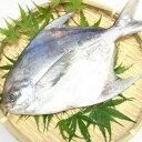 【送料無料マナガツオ】 瀬戸内海産 500g?600g一匹/鮮魚/焼き魚/まながつお/期間限定/旬の