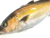 カンパチ お刺身用 かんぱち (約1.7kg、1/2・片身)鮮魚/活〆/活魚/刺身用活魚/