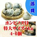 活ホンビノス貝 特大サイズ  5個入り 約1kg[貝類]...
