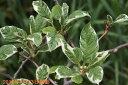 斑入り植物 白覆輪サルナシ 3号ポット 【盆栽素材】