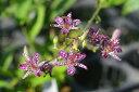 【山野草】台湾ホトトギス 満天の星 3号【山草系宿根草】【日陰の植物】