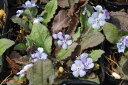 【春の山野草】ヤマルリソウ 3号 【山草系宿根草】【日陰の植物】