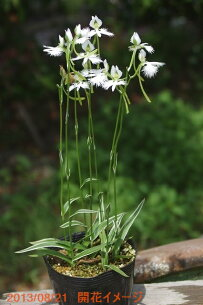 サギソウ 湿生植物 ネコポス