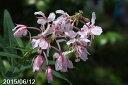 桃花ヤナギラン 3号(9cmポット) 【夏の山野草】【高山植物系】