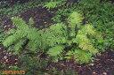 【四季の山野草】コゴミ(クサソテツ) 3.5号 【シダ植物】【山草系夏日陰の宿根草】