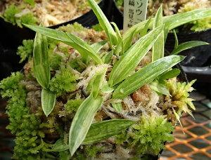 サギソウ variegatus 湿生植物