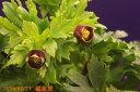 クリスマスローズの苗 原種 ヴェシカリウス(ベシカリウス) 3.5号深 【非耐暑性宿根草】