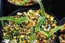 斑入り(砂子斑)サギソウ 天の川 4〜5球入り 3号(9cmポット) 【ラン科植物】【湿生植物】【好日性植物】