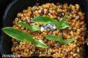 斑入り(黄覆輪) サギソウ 輝 3〜4球入 3号(9cmポット)【ラン科植物】【湿生植物】【好日性植物】