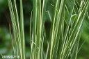 斑入り植物 斑入セキショウ(石菖) 正宗 3号【日向でもできる山草系夏日陰の和の宿根草】【シェードガーデン向き】【湿生植物】【盆栽素材】【テラリウム素材】
