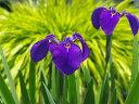 キリガミネヒオウギアヤメ 4号 【初夏の山野草】【湿生植物】【ビオトープ】
