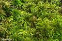 コウヤノマンネングサ 根巻苗(5〜6本)×2セット 【苔テラリウム】【苔ボトリウム】【日陰のコケ】【湿生植物】【10P03Dec16】