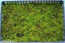 【京の苔】美しい シノブゴケ 大トレー(サイズ:59cm×39cm) 1枚 【日陰向きの苔】【苔玉材料】【苔テラリウム】