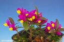 春の花木 香りの良い濃色 トキワヒメハギ グランディフローラ 3号ポット