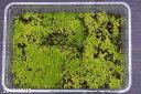 苔盆栽に最適 スナゴケ フタ無し大パック(27cm×19cm)【苔盆栽】【苔テラリウム】【小山飾り】【寄せ植え】【好日性の苔】