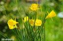 春の山原種春の山野草 水仙フエフキスイセン ナルシサス バルボコディウム ブルガリス 3号(9cmポット)