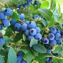 【送料無料】「ブルークロップ」ハイブッシュ系ブルーベリー苗木9cmポット(挿し木苗)【1個】ポット苗なのでほぼ年中植付けOK!ノーザンハイブッシュ系品種は寒冷地に適した系統。現在世界各国で最も多く栽培されており、豊産性で果実は大粒、果実品質も良好です!