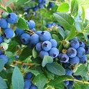 【送料無料】「ブルークロップ」人気のハイブッシュ系ブルーベリー苗木15cmポット(3年生挿し木/大苗)【1個】ポット苗なのでほぼ年中植付けOK!ノーザンハイブッシュ系品種は寒冷地に適した系統。世界各国で最も多く栽培されており、豊産性で果実は大粒で美味!