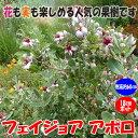 【送料無料】フェイジョア アポロ:花も美しい庭園向き果樹 18cmポット:樹高約60cm 【九州圃場より直送】