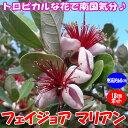 【送料無料】フェイジョア マリアン:花も美しい庭園向き果樹 18cmポット:樹高約60cm 【九州圃場より直送】