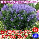 【送料無料】セイヨウニンジンボクプルプレア(ミツバハマゴウ)夏から初秋の花が美しい庭園向き花木 21cmポット:樹高約80cm【九州圃場より直送】