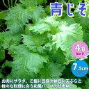 【送料無料】青じそ しその苗【野菜の苗 7.5cmポット /お買い得4個セット】紫蘇 シソ しそ シ