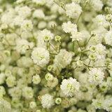 バラの花束用カスミソウ